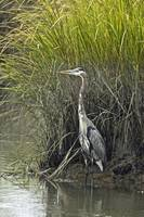 Great Blue Heron - Bombay Hook Delaware