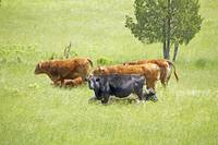 Cows and Beeves In Summer Field
