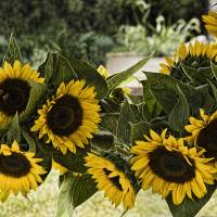 Sunflowers Art Prints & Posters by Louise Reeves