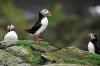 The Puffins Gracious Trio