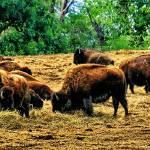"""Where the Buffalo Roam"" by patsphotos"