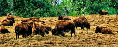 Where the Buffalo Roam