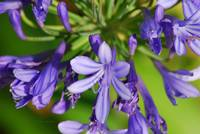 2008 agapanthus lavender 2 camproductionschristine