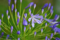 2008 agapanthus  lavender 3 camproductionschristin