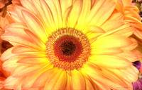2014 gerbera yellow 2 camproductionschristinemccol