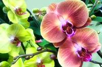 2014 orchids violetgreen 1A camproductionschristin