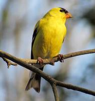 Yellow American Goldfinch 6