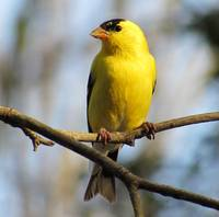 Yellow American Goldfinch 5