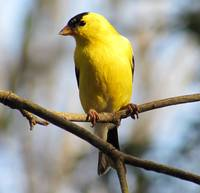 Yellow American Goldfinch 1