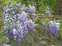 Running Wild - Purple Wisteria