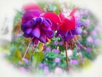 Purple & Pink Fuchsia