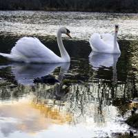 Mute Swans Art Prints & Posters by Christopher Seufert