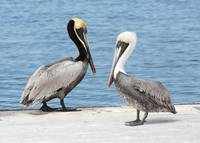 Pretty Pelican Pair