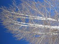 Birch Tree, Flagstaff AZ
