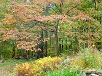 Dogwood & Ferns - Autumn Foliage