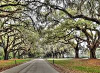 Roadway of the Live Oaks