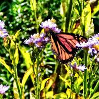 Monarch Butterfly on Purple Wildflower Art Prints & Posters by Susan Savad
