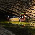 """Wood Duck In Wood"" by robertfrederick"