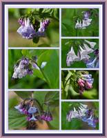 Virginia Bluebells Wildflower Collage