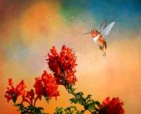 Rufous Dream