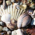 """Shells along the Seashore"" by Groecar"