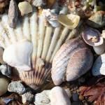 """""""Shells along the Seashore"""" by Groecar"""