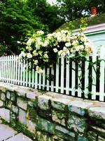 White Roses On A Picket Fence