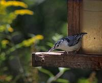 Nuthatch Balancing Act