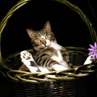 Bodhi Cat in a Basket Art Prints & Posters by Pam Kai