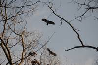 Buzzards Returning To Roost