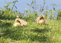 Two Goslings