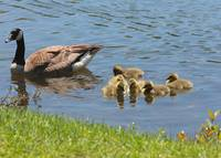 Goslings Gathering