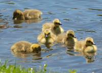 Goslings in Lake Ella