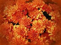 Chrysanthemums - Fire Orange