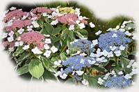 Lace Cap Hydrangeas - Pink and Blue