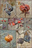 Fruits of Winter - Beach Rose Hips Collage