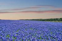 Bluebonnets at Dusk