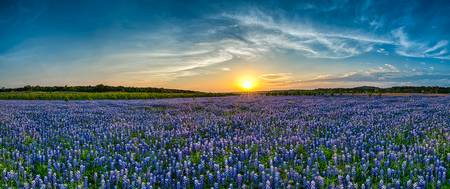 Endless Bluebonnet Sunset