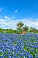 Bluebonnet and Yucca's