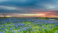 Bluebonnets at the Ranch