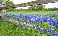 Bluebonnet along Wooden Fence