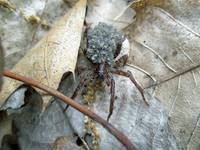 Wolf Spider and Spiderlings