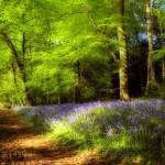 """Bluebell wood"" by Skinnyde"