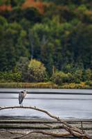 Great Blue Heron by Gregory Carter
