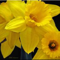 Spring Daffodils Art Prints & Posters by Mikki Cucuzzo
