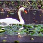 """""""039 Swan time"""" by micspics444"""