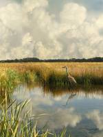 Sandhill Crane at Brooker Creek Marsh