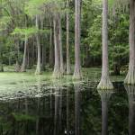 """Cypress Swamp Magic"" by Groecar"