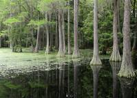 Cypress Swamp Magic