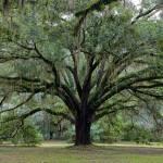 """Tallahassee Live Oak"" by Groecar"